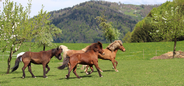 Islandpferdehof Böschenrot